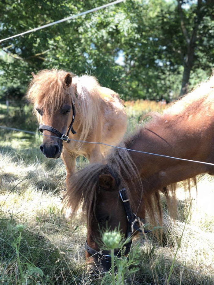 エーア島の仔馬