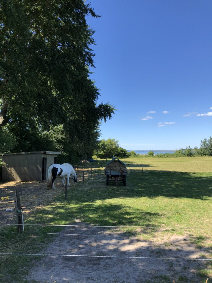 エーア島の馬