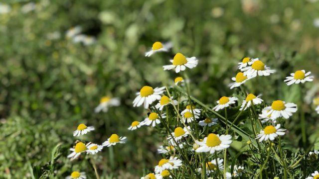 エーア島の花