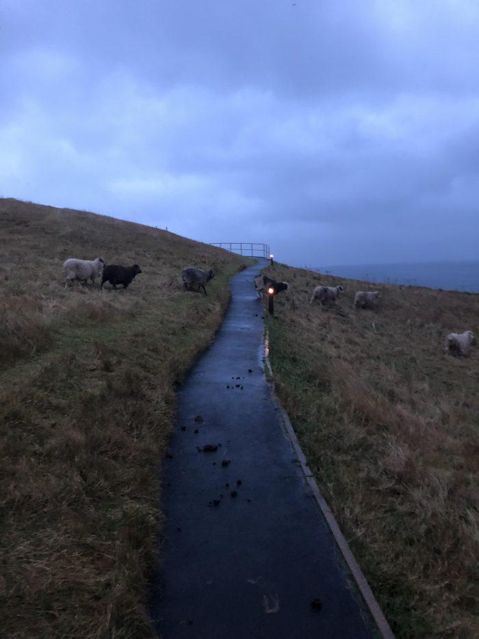 Gjogvの峡谷にいた羊