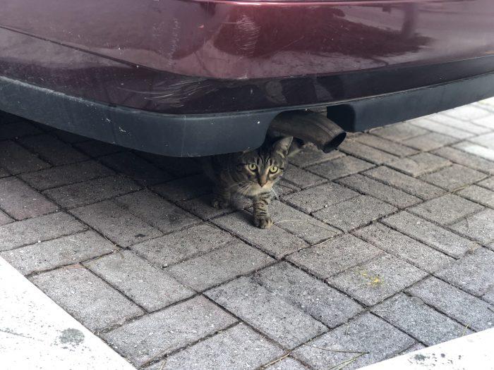 車の下から見てくる猫(スプリト)